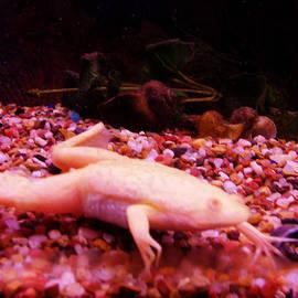 Albino African Frog