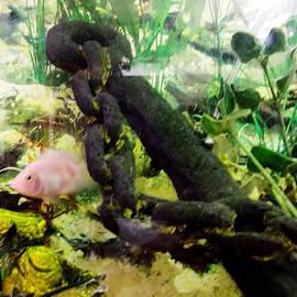Albino Parrot Fish