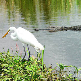 Al Powell Photography USA - Alligator Egret and Shrimp