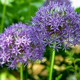 Michelle Regan - Alliums in the Garden