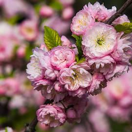 Alexander Senin - Almond tree in bloom - Featured 3