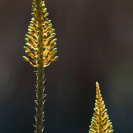 Tam Ryan - Aloe Plant