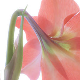 Andrea Lim - Amaryllis Lily