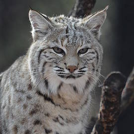 DejaVu Designs - Amazing Face of a Bobcat