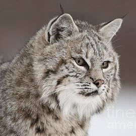 Wildlife Fine Art - Amazing Gaze