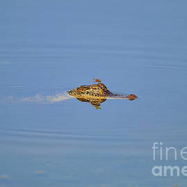 Al Powell Photography USA - Amberwing Atop Alligator