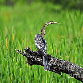 Al Powell Photography USA - American Anhinga