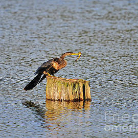 Al Powell Photography USA - American Anhinga Angler