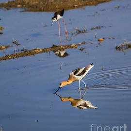 Robert Bales - American Avocet Searching For Food