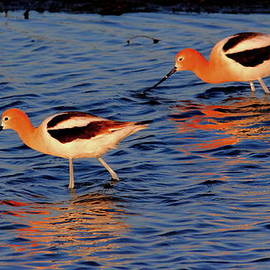 Larry Trupp - American Avocets