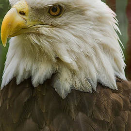 Anne Rodkin - American Bald Eagle With American Flag Background