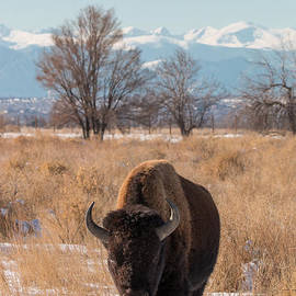 Tony Hake - American Bison Walks in the Shadow of Mountains