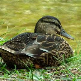 Richard Bryce and Family - American Black Duck 2