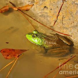 Al Powell Photography USA - American Bullfrog