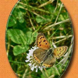 Mother Nature - American Copper Butterfly - Lycaena phlaeas