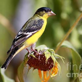 Janice Rae Pariza - American Goldfinch