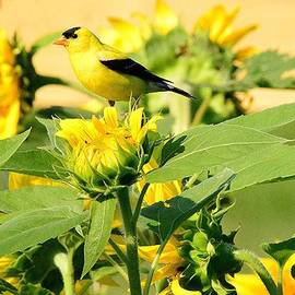Judy Genovese - American Goldfinch on Sunflower