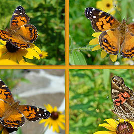 Mother Nature - American Lady Butterfly - Vanessa virginiensis