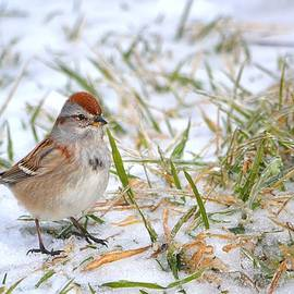Deena Stoddard - American Tree Sparrow