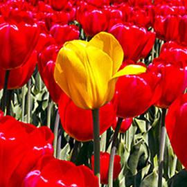 Hal Halli - Among the Tulips