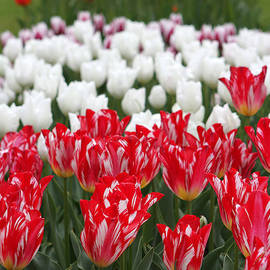 Juergen Roth - Amsterdam Tulips