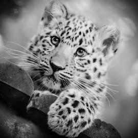 Chris Boulton - Amur Leopard Cub Portrait