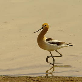 Jeff  Swan - An Avocet Wading The Shore