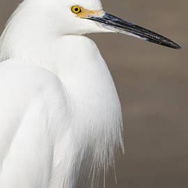 Bruce Frye - An Egret Portrait