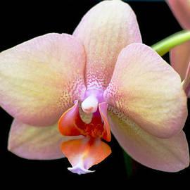 Rumyana Whitcher - An Orchid Flower