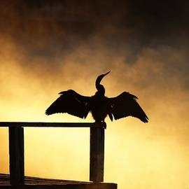 Barbara Chichester - Anhinga Sunrise Wingspread