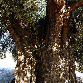 Colette V Hera  Guggenheim  - Ancient Old Olive Tree in the Mountains of Almeria Spain