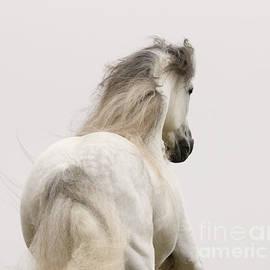 Carol Walker - Andalusian Stallion Runs at Dawn