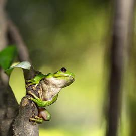 Dirk Ercken - Andean tree frog Hypsiboas riojanus