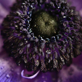 Tracy  Hall - Anemone Seeds