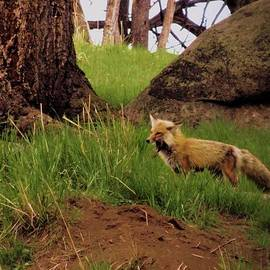 Dan Sproul - Angry Fox