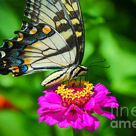 Peggy  Franz - Anise  Swallowtail Butterfly