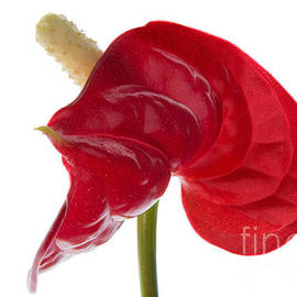 Ann Garrett - Anthurium - Backward Glance - 2