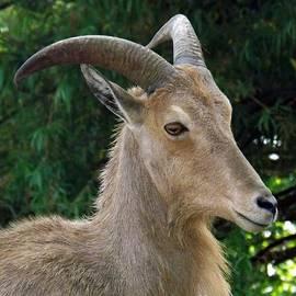 Sara  Raber - Aoudad Mountain Goat