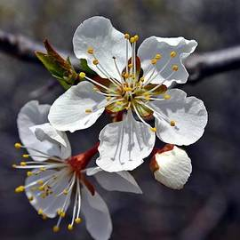 Henry Kowalski - Apple Blossom 3