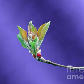 ImagesAsArt Photos And Graphics - Apple Tree Blossom Spring Flower Bud