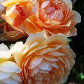 Kathy McClure - Apricot Dahlias
