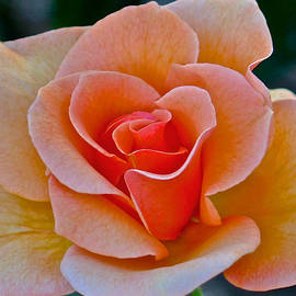 Venetia Featherstone-Witty - Apricot Rose