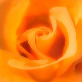 Onyonet  Photo Studios - Apricot Tea Rose