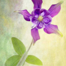 Julie Woodhouse - Aquilegia