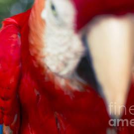 Sharon Mau - Ara Macaw - Tropics Poetry