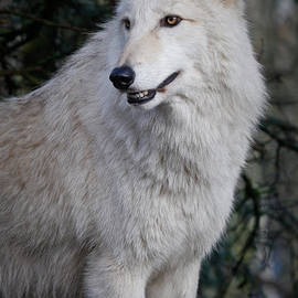Athena Mckinzie - Arctic White Wolf