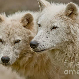 World Wildlife Photography - Arctic Wolf Pictures 1174