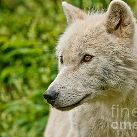 World Wildlife Photography - Arctic Wolf Pictures 1180