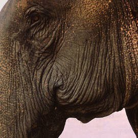 Anna Lisa Yoder - Asian Elephant in Thailand