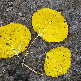 Tam Ryan - Aspen Leaves